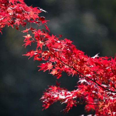 紅葉の素材写真|cocoro studio(ココロスタジオ)